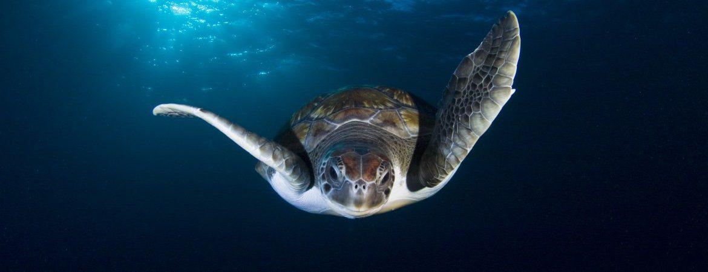Tortuga en las profundidades de las aguas canarias