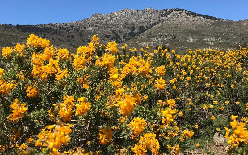 La Peñota en Los Molinos adornada por la belleza del cambroño en flor