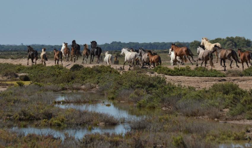 Caballos salvajes en las Marismas del Guadalquivir, verdadero origen de los cowboys