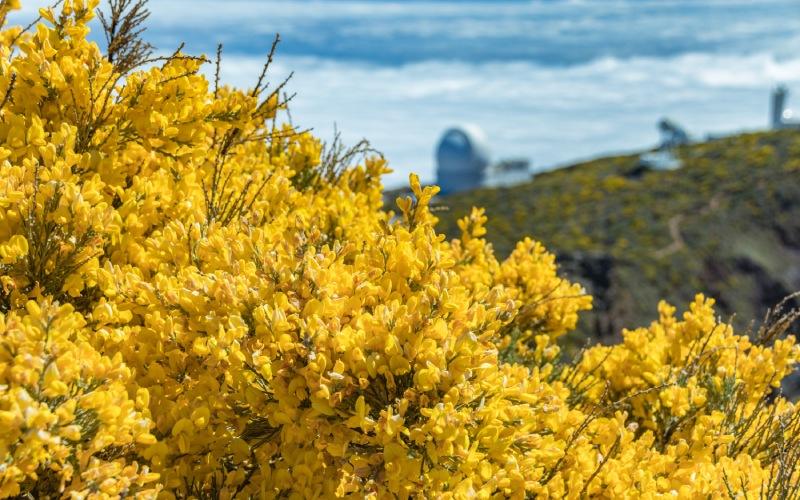 Orlas de codesos en las laderas del Roque de los Muchachos, Isla de la Palmas