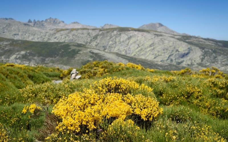 Piorno en flor en las faldas de la Sierra de Gredos