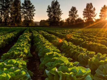 Beneficios y propiedades de la lechuga