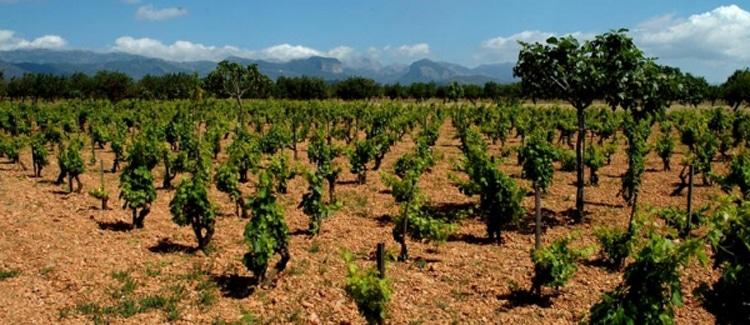 vinos de Binissalem
