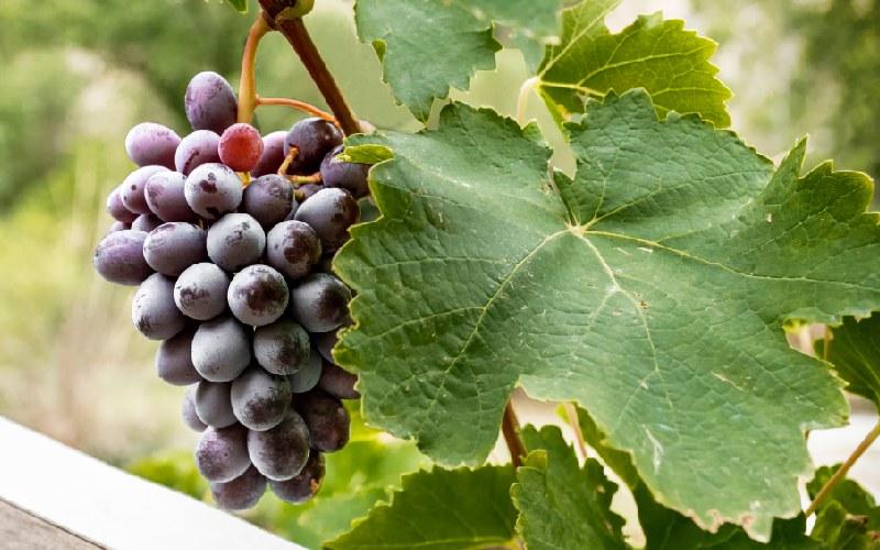 Uvas de la D.O. Vinos de Calatayud