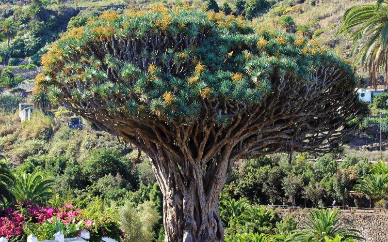 Árbol de Dragón, característico de las Islas Canarias