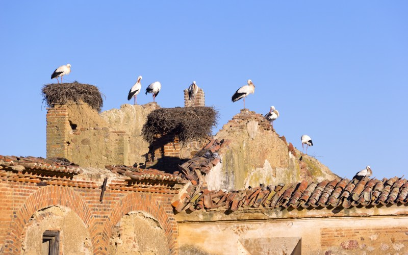 Cigüeñas en la Puebla de Alcocer