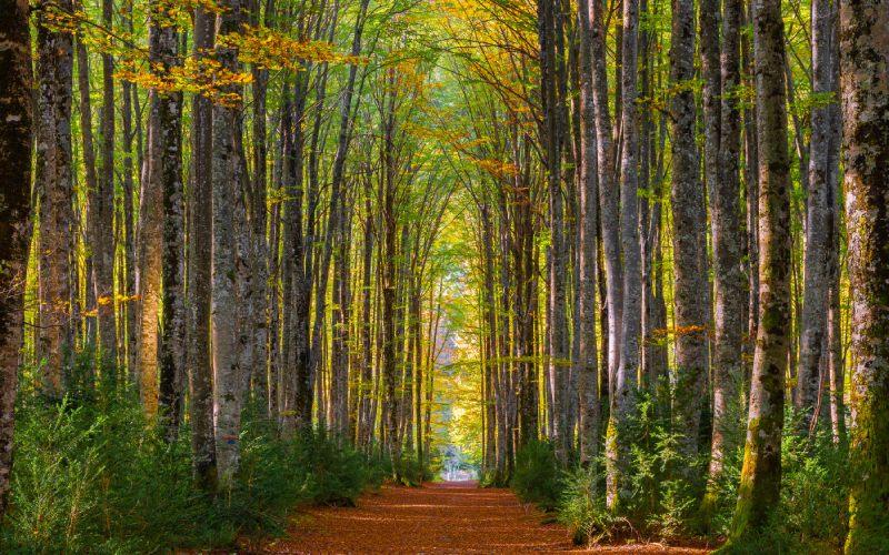 Detalle de las hayas del frondoso bosque de Mata de la Haya en el Valle de Belagua, Isaba