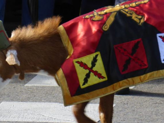 La cabra de la legión, la más famosa de sus mascotas