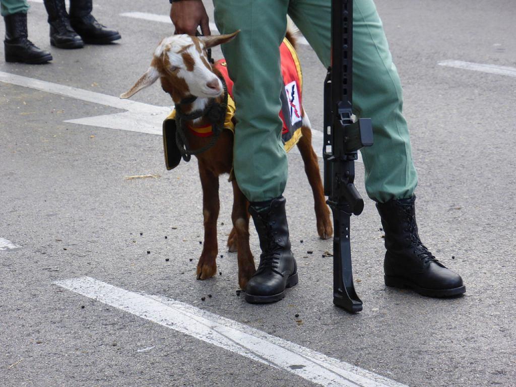 cabra de la Legión en 2015
