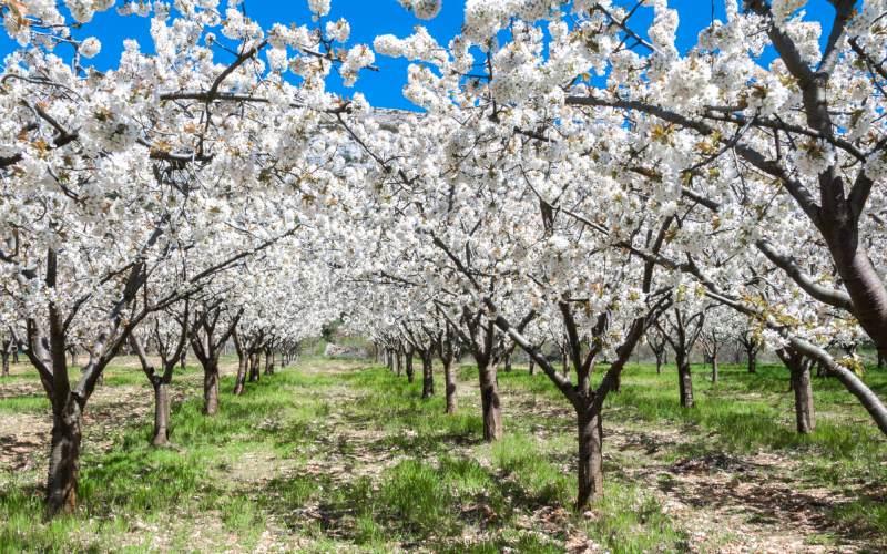Los cerezos en flor del valle de Calderechas
