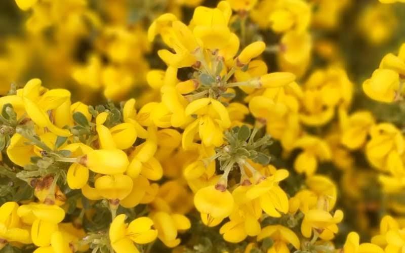 Hectáreas llenas de piornos en flor en la Sierra de Gredos