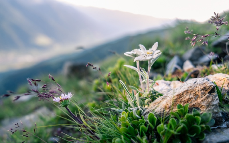 La flor de Edelweiss es difícil de encontrar