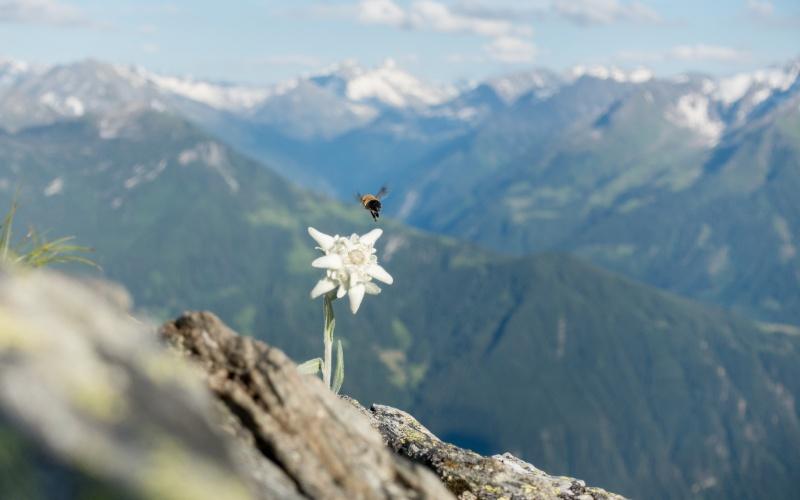 Flor de Edelweiss en plena naturaleza