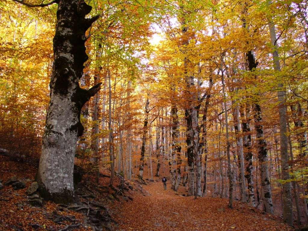 Hayedo de Ordesa en otoño