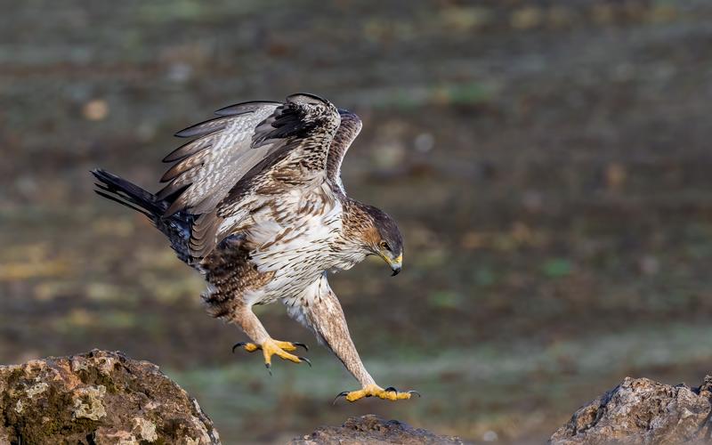 Águila perdicera