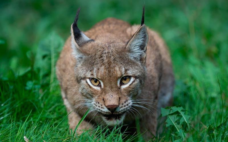 fauna en España: lince