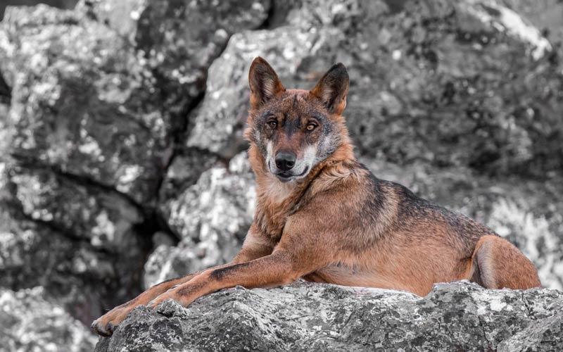 fauna en España: lobo