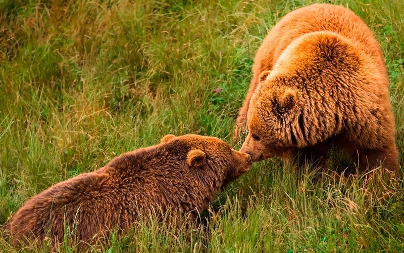 fauna en España: osos