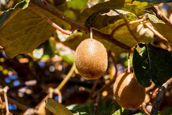 propiedades kiwi arbol