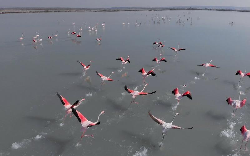 Flamencos alzando el vuelo en la laguna de la Mata, hermana de la laguna rosa