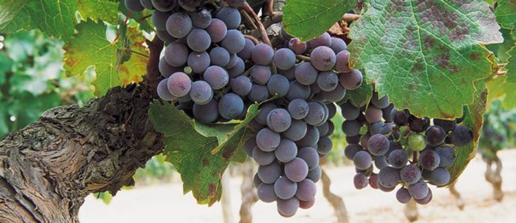 vino cataluna