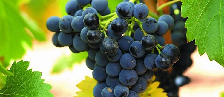 vino campo de borja aragon