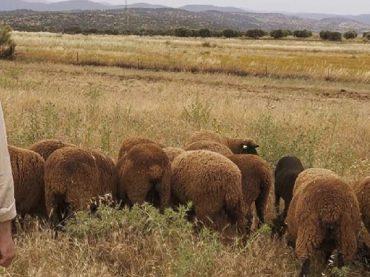 La madre del ovino mundial | La oveja merina: Celebrando una forma de vida 2