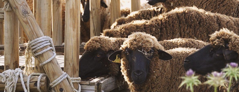La oveja merina: celebrando una forma de vida