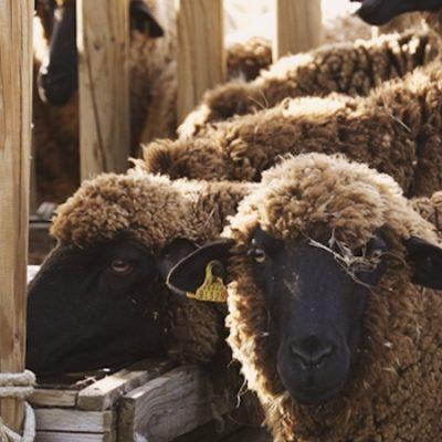 La cultura de campo | La oveja merina: Celebrando una forma de vida 1