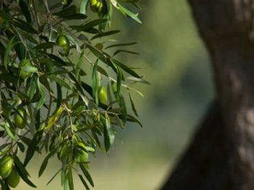 Aceite Sierra de Cazorla