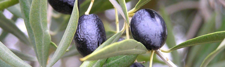 Aceite de Baix Ebre - Montsià