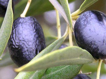 Aceite de Baix Ebre – Montsià