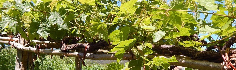 Denominación Arabako Txakolina vinos