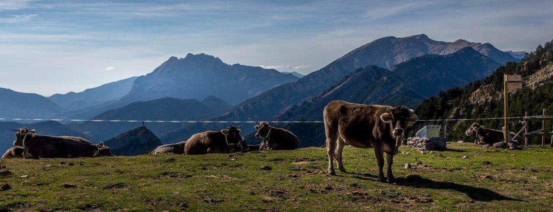 Pedrafroca en el Alt Urgell(1)