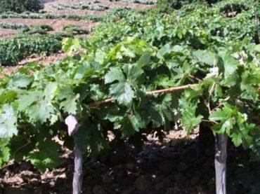 Vino Valle de Güímar
