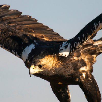 Aves de presa en España, depredadoras expertas