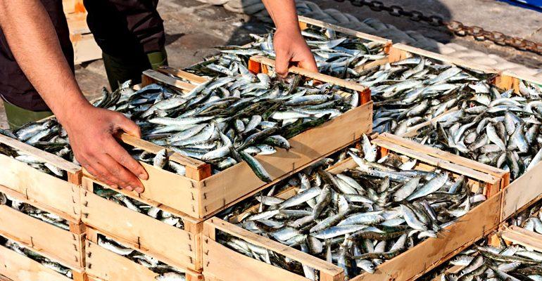 Las reservas de sardinas en estado crítico
