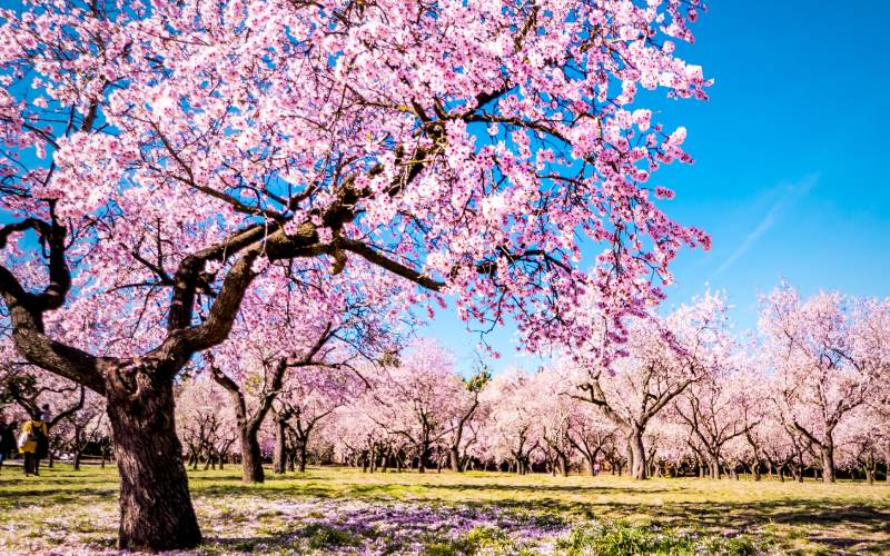 Los almendros son la marca de la Quinta de los Molinos