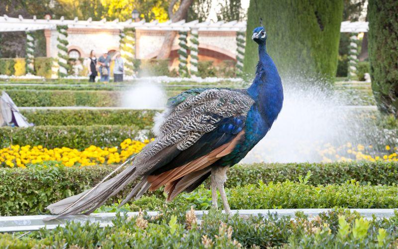 Pavo Real de los Jardines de Cecilio Rodríguez