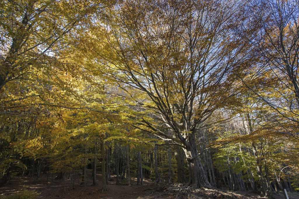 Hayedos españoles para ir en otoño Santa Fe del Montseny