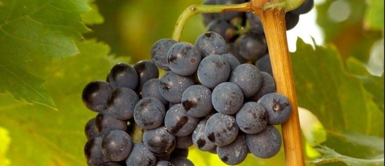 vinos de Abona