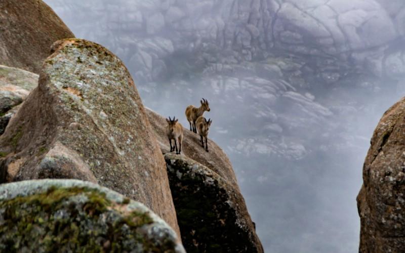 Cabras montesas en La Pedriza