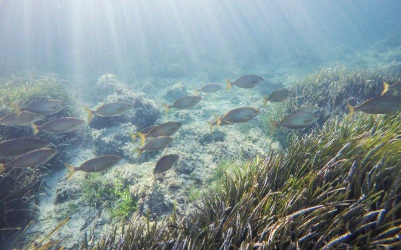 Peces nadando en las aguas de Tabarca