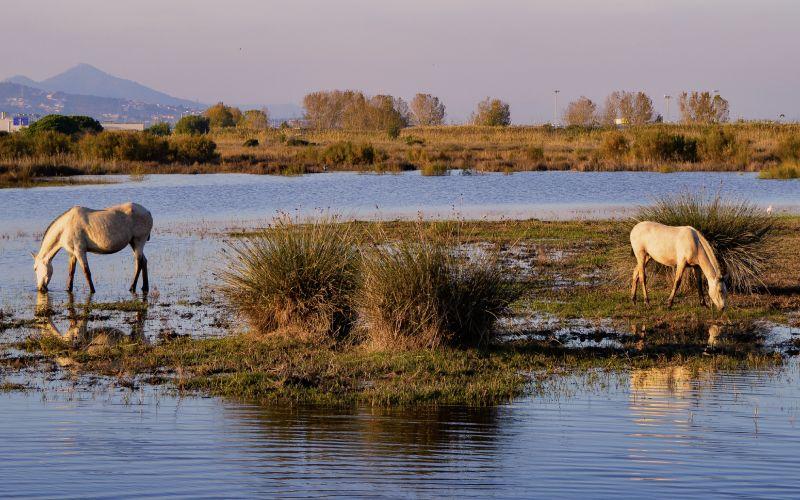 Dos caballos beben el el delta de Llobregat