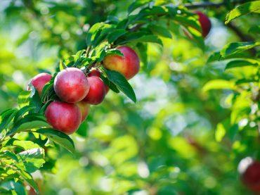 Beneficios y propiedades de la nectarina
