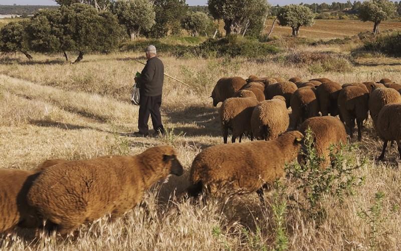 Silverio Muñoz rodeado de ovejas merinas