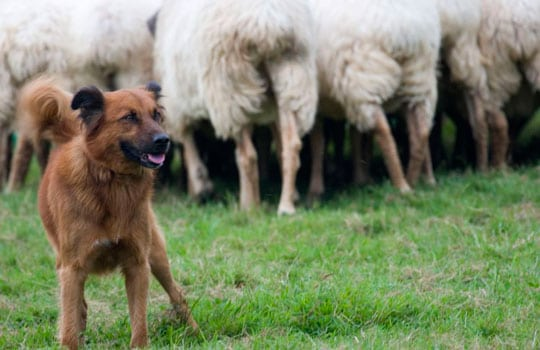 herri-kirolak-pruebas-de-perros-pastores-txakur-probak