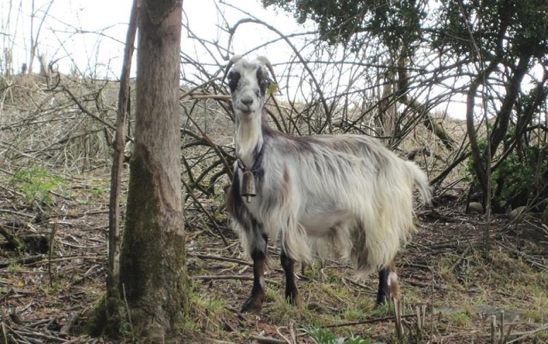 una cabra entre roncesvalles y pamplona-Michel Devaud